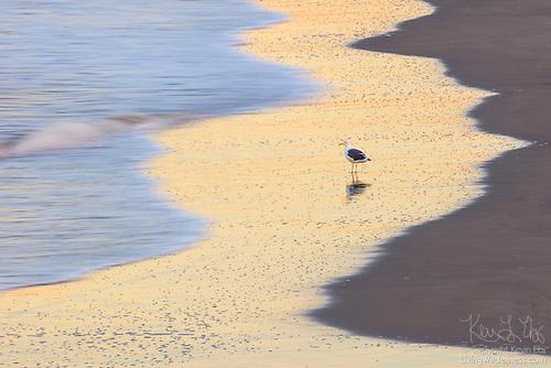 Herring Gull, Venice Beach, California