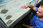 Foto: VidiPhoto<br /> <br /> ARNHEM - En dat is 50. Burgers' Zoo in Arnhem bereikte woensdag een mijlpaal met de geboorte van een tweeling pijlstaartrog: nummer 49 en 50 sinds de dierentuin begon met het kweken van deze vissen in 2003. En daarmee is Koninklijke Burgers' een echte kweekvijver voor deze roggen en hofleverancier aan de Europese dierentuinen. Inmiddels zijn aan 20 aquaria in heel Europa pijlstaartroggen geleverd. De grijzepijlstaartrog was enkele jaren geleden een van de eerste vissoorten met een eigen stamboek. Om inteelt te voorkomen kweekt de Arnhemse dierentuin nu met een Franse moeder en Belgische vader.