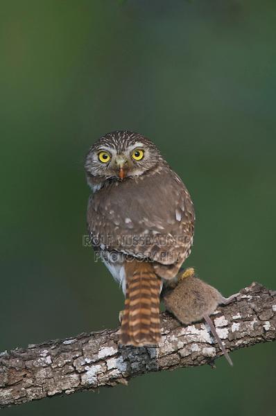 Ferruginous Pygmy-Owl, Glaucidium brasilianum, adult, Willacy County, Rio Grande Valley, Texas, USA