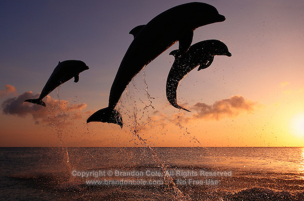 qk40866-D. Bottlenose Dolphins (Tursiops truncatus). Honduras, Caribbean Sea..Photo Copyright © Brandon Cole. All rights reserved worldwide.  www.brandoncole.com..This photo is NOT free. It is NOT in the public domain. This photo is a Copyrighted Work, registered with the US Copyright Office. .Rights to reproduction of photograph granted only upon payment in full of agreed upon licensing fee. Any use of this photo prior to such payment is an infringement of copyright and punishable by fines up to  $150,000 USD...Brandon Cole.MARINE PHOTOGRAPHY.http://www.brandoncole.com.email: brandoncole@msn.com.4917 N. Boeing Rd..Spokane Valley, WA  99206  USA.tel: 509-535-3489