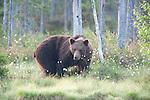 European Brown Bear, Ursus arctos arctos, Kuhmo, Finland, Lentiira, Vartius near Russian Border, foraging in forest