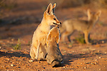 Cape fox, Vulpes chama, with cub, Kgalagadi Transfrontier Park, Northern Cape, South Africa