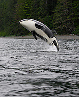 pu0131-D. Orca (Orcinus orca) breaching. Also called Killer Whale. Alaska, USA, Pacific Ocean..Photo Copyright © Brandon Cole. All rights reserved worldwide.  www.brandoncole.com..This photo is NOT free. It is NOT in the public domain. This photo is a Copyrighted Work, registered with the US Copyright Office. .Rights to reproduction of photograph granted only upon payment in full of agreed upon licensing fee. Any use of this photo prior to such payment is an infringement of copyright and punishable by fines up to  $150,000 USD...Brandon Cole.MARINE PHOTOGRAPHY.http://www.brandoncole.com.email: brandoncole@msn.com.4917 N. Boeing Rd..Spokane Valley, WA  99206  USA.tel: 509-535-3489