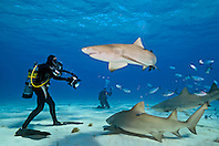 Lemon Sharks, Negaprion brevirostris, and scuba divers, baiting the water with fish scraps, West End, Grand Bahama, Atlantic Ocean