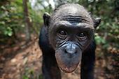 Bonobo female head (Pan paniscus), Lola Ya Bonobo Sanctuary, Democratic Republic of Congo.