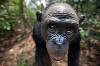 Bonobo female head (Pan paniscus), Lola Ya Bonobo Sanctuary, Democratic Republic of Congo.
