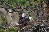 Bald Eagle Nest (Haliaeetus leucocephalus)--both adults with ten to twelve day old eaglet in tall ponderosa pine tree.  Oregon.  April.