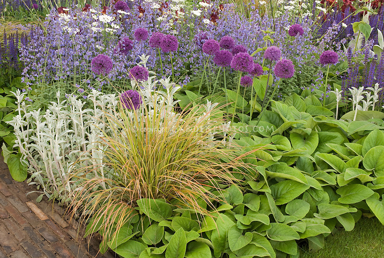Ornamental onions alliums in garden plant flower stock for Ornamental grass with purple flowers
