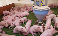 Eleven weeks old weaner piglets, Lancashire, England.
