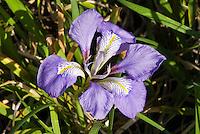 Iris unguicularis in winter flowers aka Iris stylosa