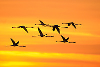 Greater Flamingo flock in flight at dawn (Phoenicopterus ruber), Camargue, France