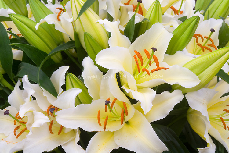 Lilium 'Cherbourg' (Oriental lily)