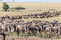 Wildebeest migration in the Masai Mara with a long snaking line of animals stretching back as far as the eye can see in the Masai Mara Reserve, Kenya, Africa (photo by Wildlife Photographer Matt Considine)
