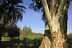 T-149 Eucalyptus tree in Ein Noon