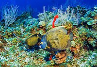 24 July 2015: A pair of French Angelfish (Pomacanthus paru) swim on the reef at Hammerhead Hill, on the North Shore of Grand Cayman Island. Located in the British West Indies in the Caribbean, the Cayman Islands are renowned for excellent scuba diving, snorkeling, beaches and banking.  Mandatory Credit: Ed Wolfstein Photo *** RAW (NEF) Image File Available ***