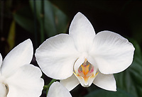 Phalaenopsis aphrodite orchid species from the Philippines