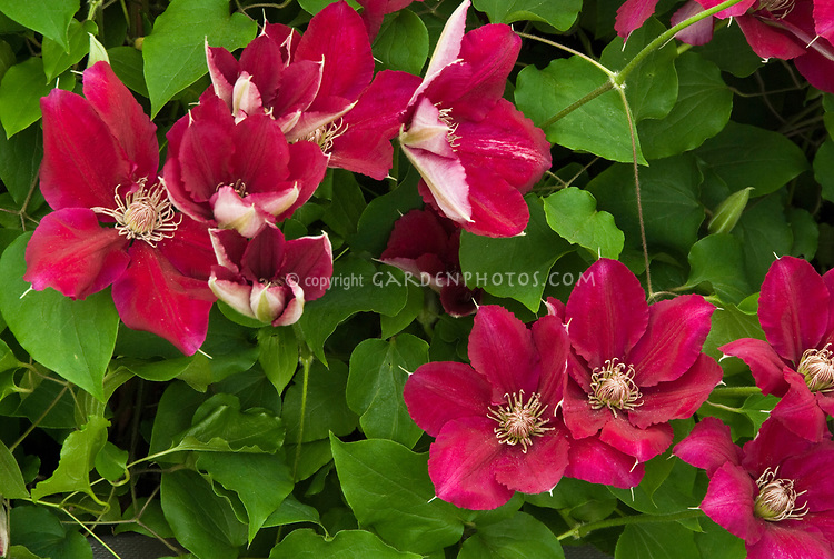 clematis ernest markham plant flower stock photography. Black Bedroom Furniture Sets. Home Design Ideas