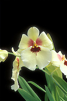 Miltonia Butterfly Orchid hybrid Pansy Orchid