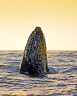 humpback whale, Megaptera novaeangliae, spyhopping at sunset, note parasitic acorn barnacles, Cornula diaderma, and many scars left by them, Hawaii, USA, Pacific Ocean
