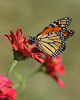 The Monarch fall migration makes itself apparent in Central Texas late October.