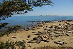 Elephant seals at North Bight Beach, Ano Nuevo State Park