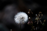 A seed ball, puff ball, the legacy of a flower, stands among stems that are at varying stages of life.