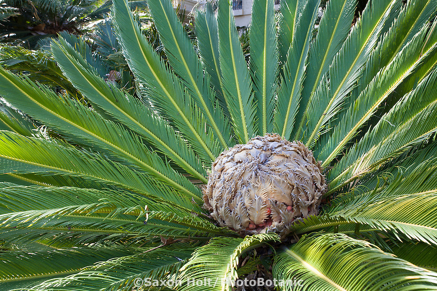 Bloom of the female cycad - King Sago Palm tree (Cycas revoluta)