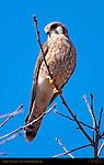 American Kestrel Female, Sepulveda Wildlife Refuge, Southern California