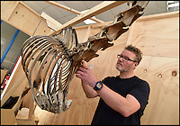 BNPS.co.uk (01202 558833)<br /> Pic: NMA/BNPS<br /> <br /> Conservator Derek Bell at work on the famous skeleton.<br /> <br /> Napoleons famous horse given some much needed 'Joie de vivre' by a National Army Museum conservation - The new poised hind legs and cocked fore leg and head breathe life into the 200 year old skeleton.<br /> <br /> Emperor Napoleon's famous warhorse Marengo, immortalised in David's famous painting, was captured on the battlefield of Waterloo after Napoleon had fled.<br /> <br /> The diminutive Arabian stallion was brought back to Britain, and after its death the skeleton was carefully preserved and put on display in a rather dull and lifeless pose.<br /> <br /> British experts have spent two years picking apart, reconditioning and reassembling the aged and delicate bones of Marengo ahead of his installation at the new National Army Museum in Chelsea, west London.