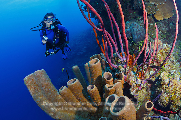 TR4255-D. Brown Tube Sponges (Agelas conifera) and purple Row Pore Rope Sponge (Aplysina cauliformis) proliferate along a wall at 75 feet deep, scuba diver (model released) in background. Sponges are often brightly colored and come in a wide variety of shapes. They are filter feeders, drawing seawater (containing microscopic plankton on which they feed) through their pores. Cayman Islands, Caribbean Sea.<br /> Photo Copyright &copy; Brandon Cole. All rights reserved worldwide.  www.brandoncole.com