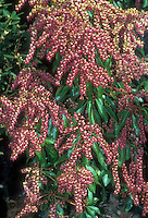 Japanese Andromeda bush Valley Valentine in spring bloom with many bunches of red bell like flowers on a deer-proof garden plant