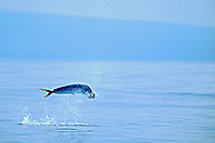 mahi mahi, dolphin fish, or dorado, .Coryphaena hippurus, cow jumping, .Kona, Big Island, Hawaii (Pacific).