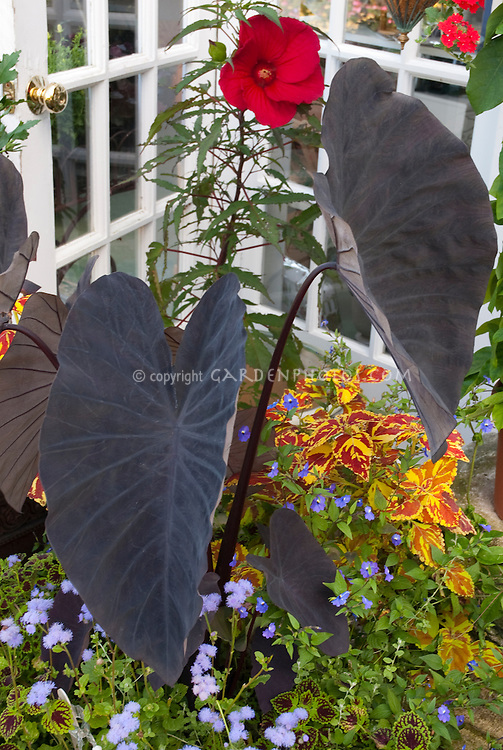 Black purple foliage plant Colocasia esculenta Midnight with annual coleus, ageratum, hibiscus in container