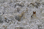Coyote stands in snow-covered sage, Yellowstone National Park, Wyoming