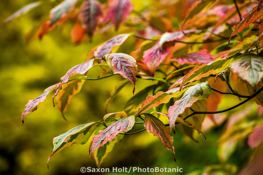 Branch of variegated dogwood tree (Cornus florida 'Cherokee Sunset') Gay Edelson garden in Lafayette, California with fall color