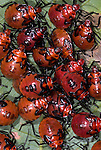 Shield Bugs, Family: Scutelleridae., Manu, Peru, jungle, amazon, nymphs group together, red and black colour, on leaf.South America....