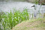 Columbia Ranch, Brazoria County, Damon, Texas; an adult Yellow-crowned night-heron (Nyctanassa violacea) bird standing on the bank of the slough