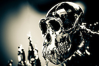 Metal sculpture of a chimpanzee skull, Edinburgh Zoo, Edinburgh, Scotland.  .This sculpture is part of a human skeleton/chimpanzee skeleton piece found in the lobby of the Budongo Trail at the Edinburgh Zoo.