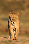 Lioness (Panthera leo) in the Kalahari, Kgalagadi Transfrontier Park, Northern Cape, South Africa, February 2016