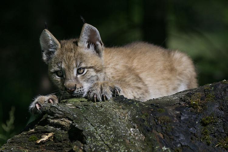 Siberian Lynx kitten watching from an old log - CA