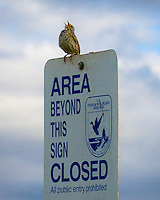 "A Savannah Sparrow (Passerculus sandwichensis) is singing on a ""area close"" sign with clouds and bits of blue sky in the background"