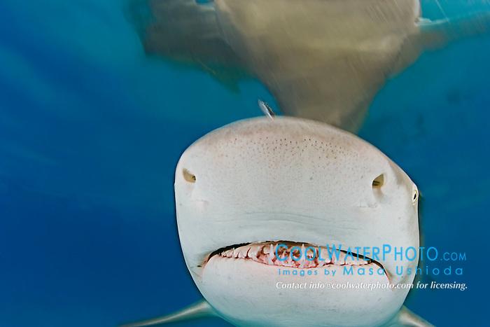 Lemon Shark, Negaprion brevirostris, showing Ampullae of Lorenzini, nostrils, and teeth, West End, Grand Bahama, Atlantic Ocean