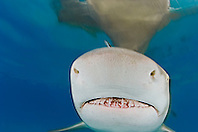 Lemon Shark, Negaprion brevirostris, showing Ampullae of Lorenzini, nostrils, and teeth, West End, Grand Bahama, Atlantic Ocean