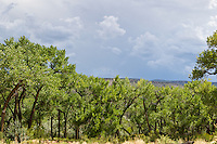 Cottonwood trees in Abiquiu, New Mexico