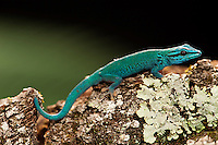 Electric Blue Day Gecko (Lygodactylus williamsi). Captive
