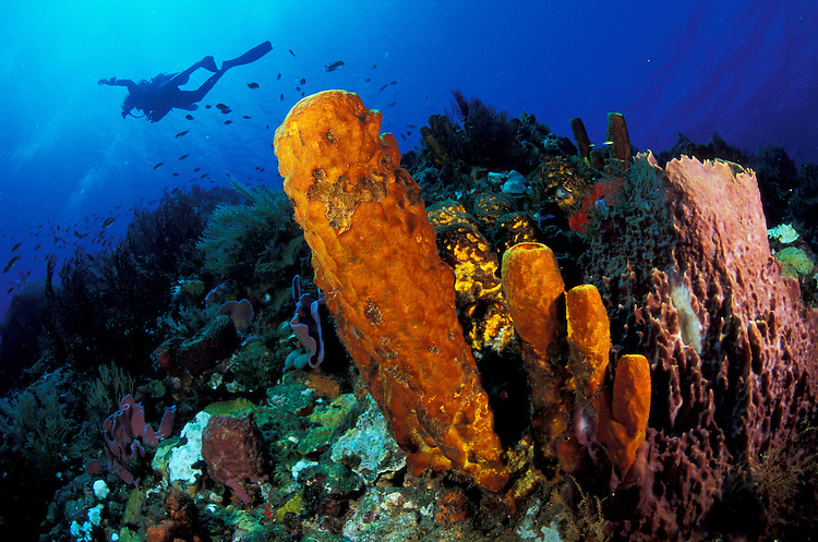 reef scene in Soufriere marine reserve with yellow tube sponges, barrel sponges and diver