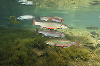 Brook Trout &amp; Rainbow Trout together<br />