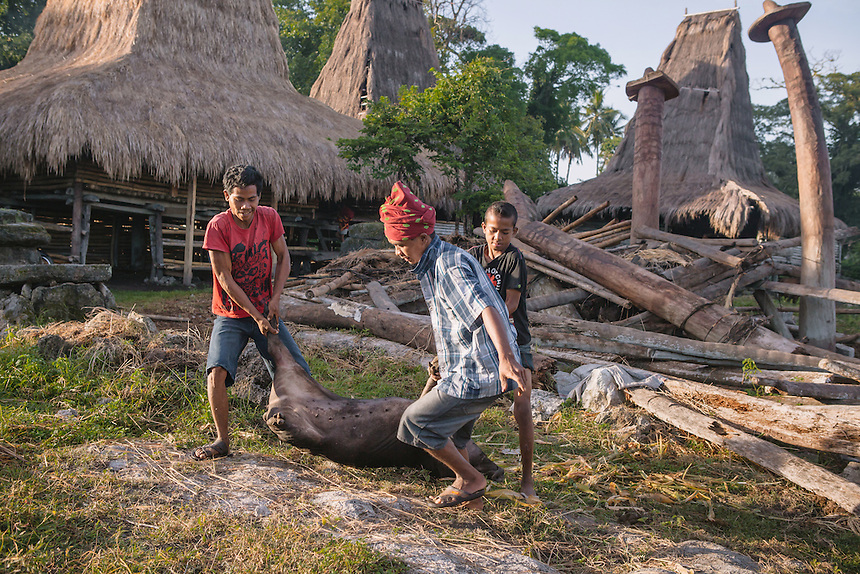 Pigs are sacrificed to feed the villagers during the Pasola in Tosi, Kodi. For many of the the Sumbanese, who still believe in the ancient animism called Marapu, the day around Pasola is considered holy. And many of them came from faraway village in Sumba to watch Pasola. Pasola is an ancient tradition from the Indonesian island of Sumba. Categorized as both extreme traditional sport and ritual, Pasola is an annual mock horse warfare performed in response to the harvesting season. In the battelfield, the Pasola warriors use blunt spears as their weapon. However, fatal accident still do occurs.