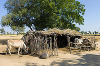 Cattle in shelter in Indian Bishnoi village near Rohet in Rajasthan, Northern India