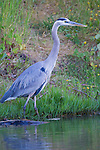 A great blue heron wades at the edge of a pond, looking for fish